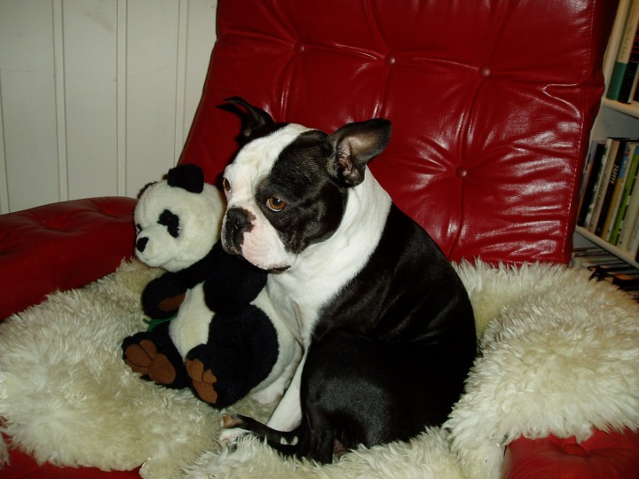 Bob, Boston terrier og vennen hans, Panda.